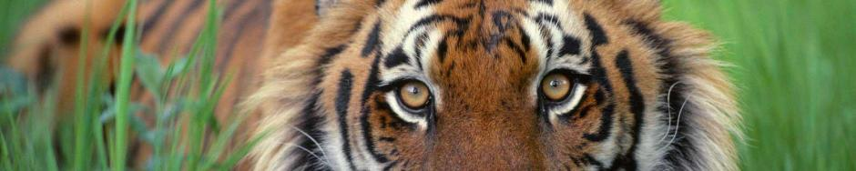 Orange tiger eyes staring from the green grass